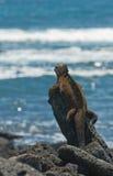 Iguana marinha nas rochas fotos de stock