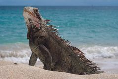Iguana masculina imagem de stock royalty free