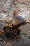 Iguana masculina Fotografía de archivo libre de regalías