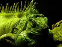 Iguana masculina Imagens de Stock Royalty Free