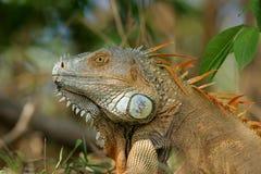 Iguana masculina - Costa Rica Imágenes de archivo libres de regalías