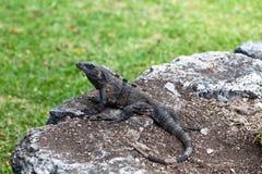 Iguana on Mayan Ruins Stock Images