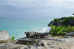 Iguana at Mayan ruins at tulum,cancun,mexico Stock Photos