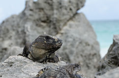 Iguana at Mayan ruins at tulum,cancun,mexico. Ruins at the beach,tulum royalty free stock image