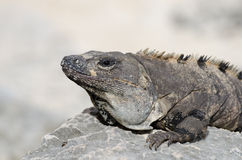 Iguana at Mayan ruins at tulum,cancun,mexico Stock Photo