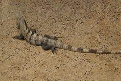 Iguana in Mayan ruins Stock Image
