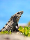 Iguana messicana Fotografia Stock
