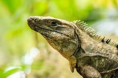 Iguana messicana Fotografia Stock Libera da Diritti