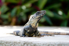 Iguana mexicana Imagenes de archivo