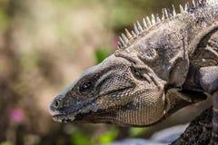 Iguana mexicana Imagem de Stock