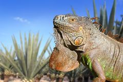 Iguana Mexico in agave tequilana field blue sky. Iguana Mexico in agave tequila plant field blue sky Stock Photography