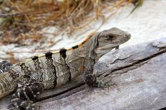 Iguana in Mexico on aged gray wood near beach. Iguana Mexico reptilian on aged gray wood near beach sand Stock Image