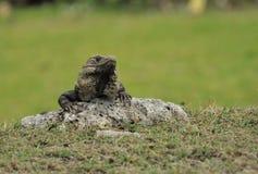 Iguana in Mexico. Grey Iguana soaks up the rays stock photos