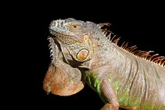 Iguana from mexico profile portrait detail macro. Head Stock Images