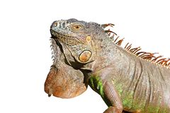 Iguana from mexico profile portrait detail macro. Head Royalty Free Stock Photo