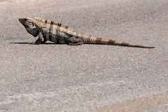 Iguana in the middle of the road in Mexico. Isla Mujeres Caribbean island paradise on Yucatan. Iguanas roam the island like they own the place and this one just Royalty Free Stock Photos