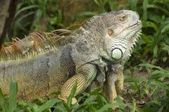 Iguana molting Stock Photography