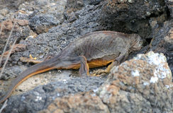 Iguana. The morning after: marine iguana with head in lava hole royalty free stock photography