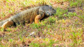 Iguana mouth open Stock Image