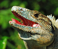 Iguana with mouth open, costa rica Royalty Free Stock Photo