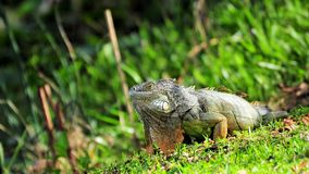Iguana moving on grass Royalty Free Stock Photography