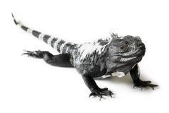 Iguana munita coperta di spine Fotografie Stock Libere da Diritti