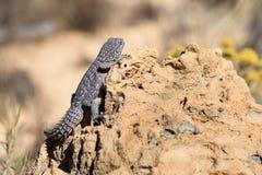 Iguana munita coperta di spine Fotografia Stock