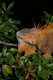 Iguana na árvore Fotos de Stock