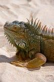 Iguana na areia Foto de Stock Royalty Free