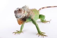 Iguana na białym tle Obraz Stock