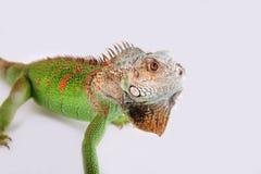 Iguana na białym tle obraz royalty free