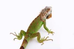Iguana na białym tle obrazy stock