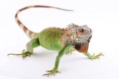 Iguana na białym tle Fotografia Stock