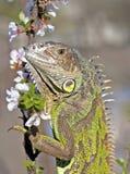 Iguana na caminhada Fotos de Stock