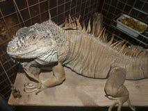 Iguana na ciemnym tle Zdjęcia Stock