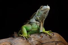 Iguana na ciemnym tle Czarny i biały wizerunek Fotografia Royalty Free