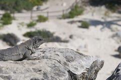 Iguana na ciepłej skale, plażowy tło fotografia stock