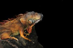 Iguana na czarnym tle Fotografia Stock