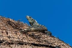 Iguana na dachu Zdjęcia Royalty Free