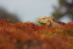 Iguana na folha Fotos de Stock