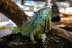 Iguana na fonte de água, chaves de Florida, EUA foto de stock