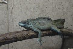 Iguana na gałąź Obraz Stock