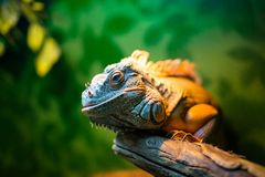 Iguana na gałąź w kontaktowym zoo obrazy royalty free