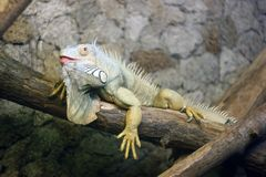 Iguana na gałęziastej głębii pole zdjęcie stock