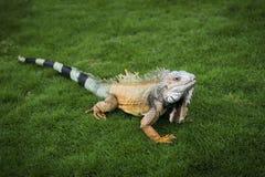 Iguana na grama em um parque em Guayaquil em Equador imagem de stock royalty free
