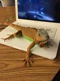 Iguana na komputerze Zdjęcia Royalty Free