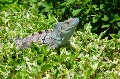 Iguana na obfitolistnym krzaku fotografia stock