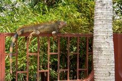 Iguana na ogrodzeniu fotografia royalty free