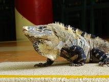 Iguana na pavimentação fotografia de stock