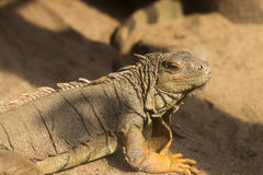 Iguana na piasku fotografia stock